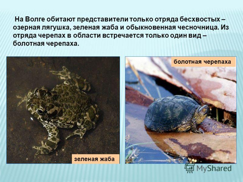 На Волге обитают представители только отряда бесхвостых – озерная лягушка, зеленая жаба и обыкновенная чесночница. Из отряда черепах в области встречается только один вид – болотная черепаха. зеленая жаба болотная черепаха