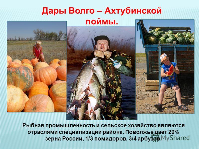 Дары Волго – Ахтубинской поймы. Рыбная промышленность и сельское хозяйство являются отраслями специализации района. Поволжье дает 20% зерна России, 1/3 помидоров, 3/4 арбузов.