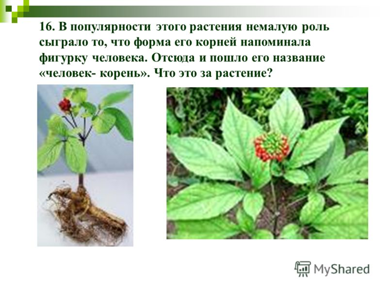 16. В популярности этого растения немалую роль сыграло то, что форма его корней напоминала фигурку человека. Отсюда и пошло его название «человек- корень». Что это за растение?