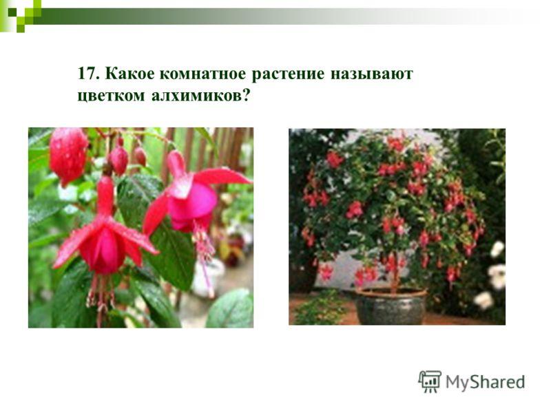 17. Какое комнатное растение называют цветком алхимиков?