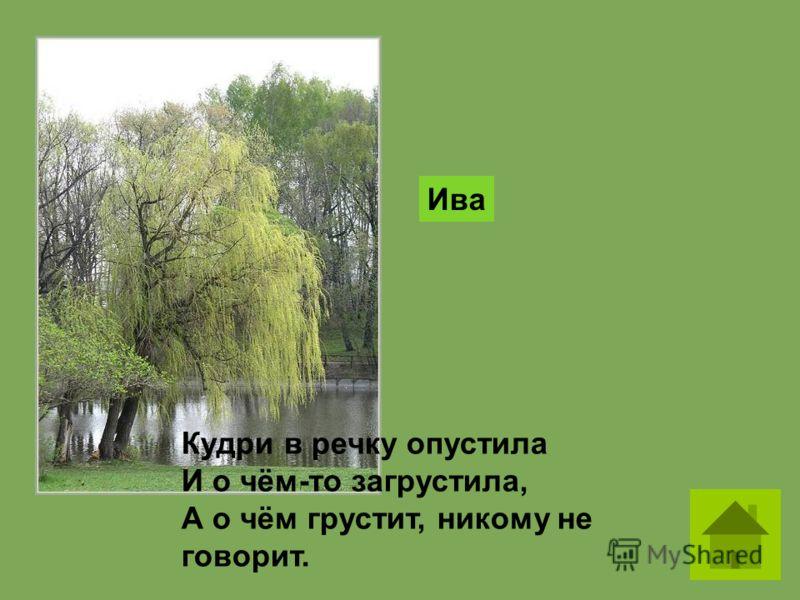 Кудри в речку опустила И о чём-то загрустила, А о чём грустит, никому не говорит. Ива