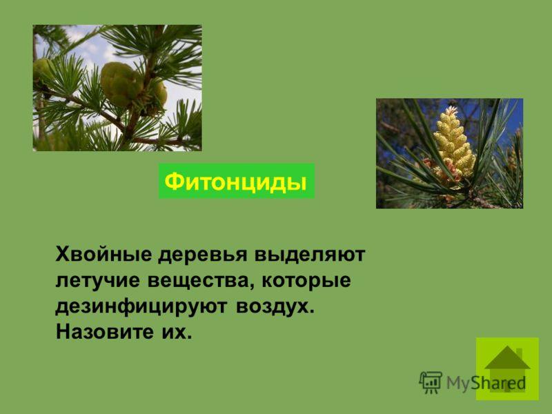 Хвойные деревья выделяют летучие вещества, которые дезинфицируют воздух. Назовите их. Фитонциды