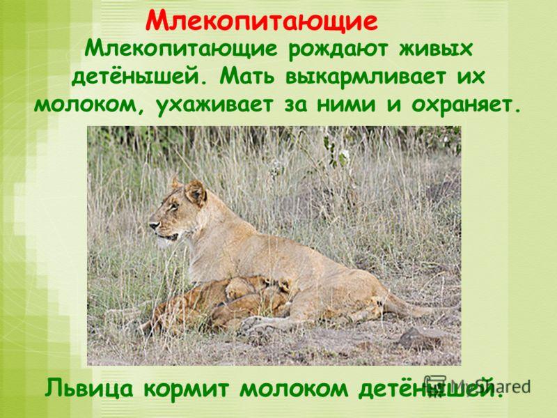 Млекопитающие Млекопитающие рождают живых детёнышей. Мать выкармливает их молоком, ухаживает за ними и охраняет. Львица кормит молоком детёнышей.