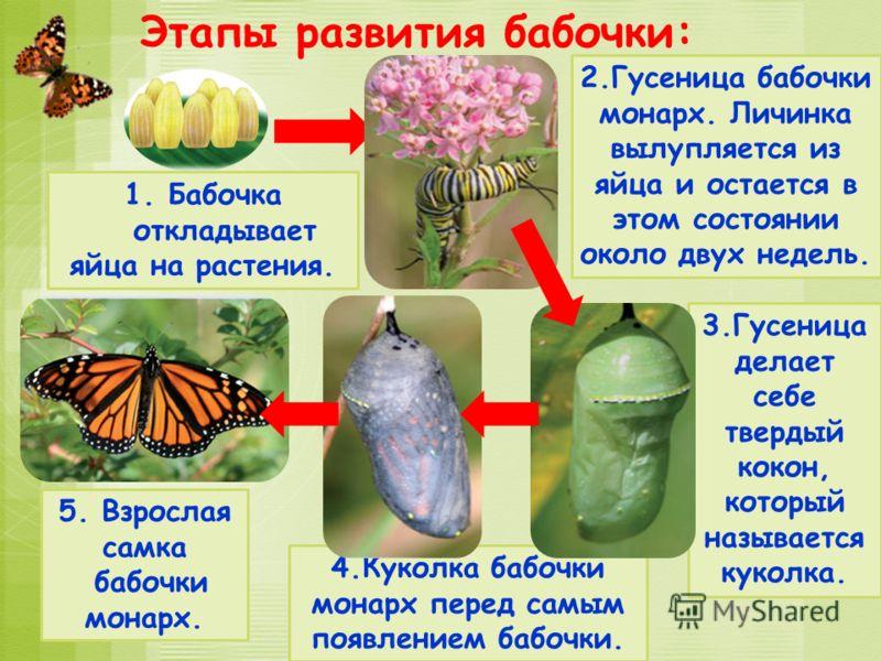 4.Куколка бабочки монарх перед самым появлением бабочки. 3.Гусеница делает себе твердый кокон, который называется куколка. 2.Гусеница бабочки монарх. Личинка вылупляется из яйца и остается в этом состоянии около двух недель. Этапы развития бабочки: 1