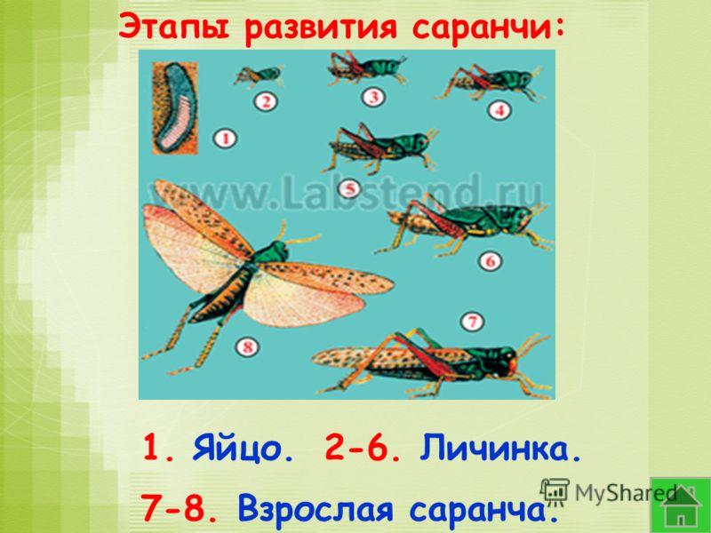 Этапы развития саранчи: 1. Яйцо.2-6. Личинка. 7-8. Взрослая саранча.