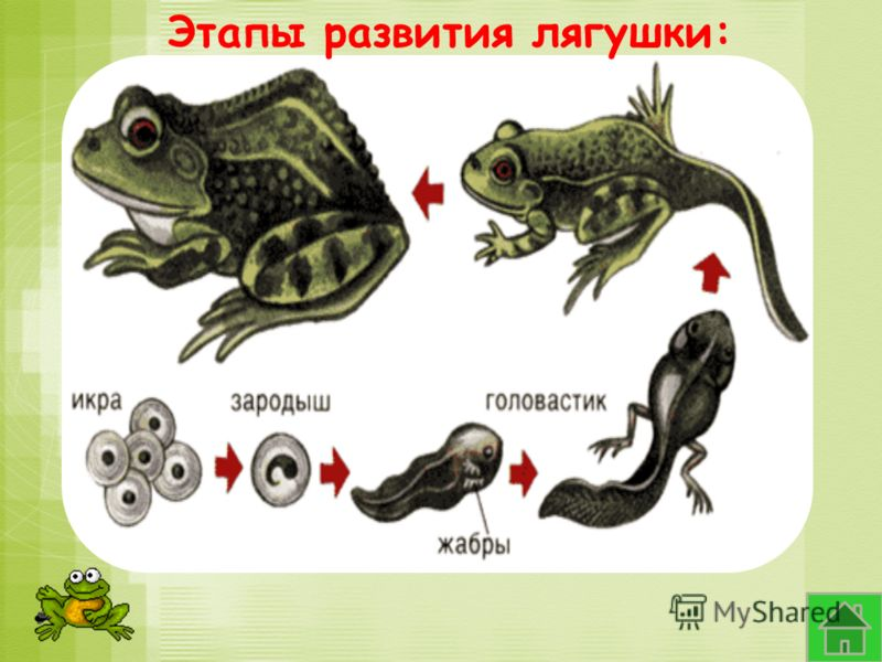 Этапы развития лягушки: