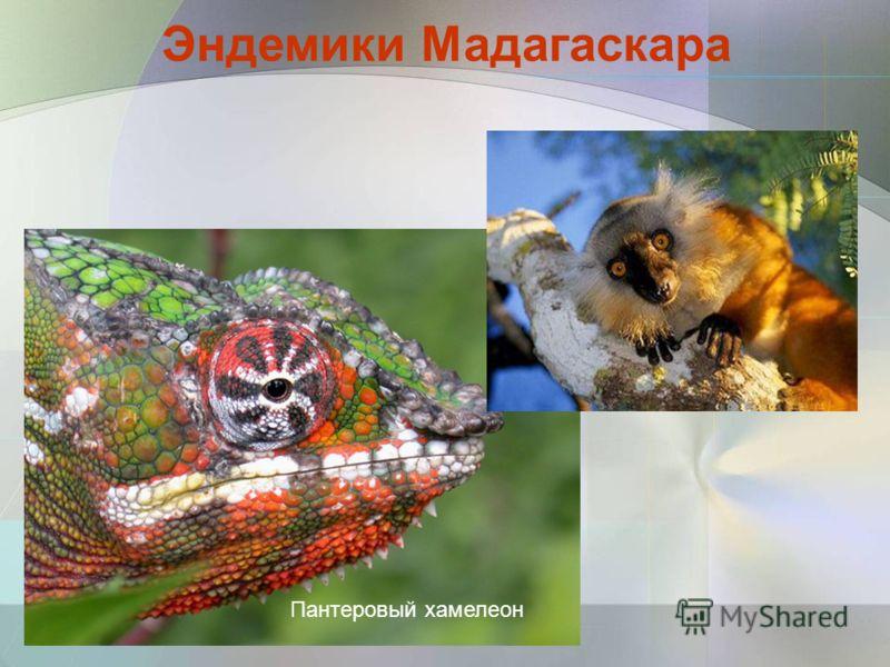 Пантеровый хамелеон Эндемики Мадагаскара