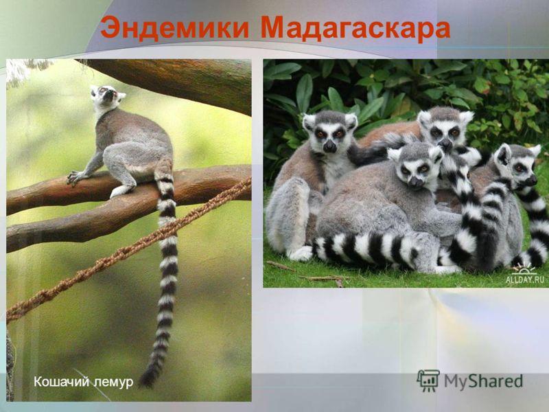 Кошачий лемур Эндемики Мадагаскара