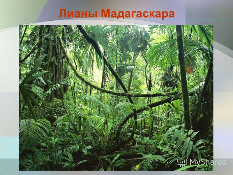 Лианы Мадагаскара