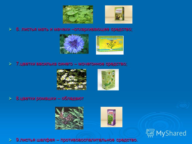 6. листья мать и мачехи –отхаркивающее средство; 6. листья мать и мачехи –отхаркивающее средство; 7.цветки василька синего – мочегонное средство; 7.цветки василька синего – мочегонное средство; 8.цветки ромашки – обладают 8.цветки ромашки – обладают