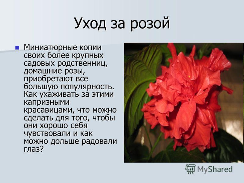 Уход за розой Миниатюрные копии своих более крупных садовых родственниц, домашние розы, приобретают все большую популярность. Как ухаживать за этими капризными красавицами, что можно сделать для того, чтобы они хорошо себя чувствовали и как можно дол