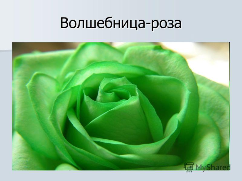 Волшебница-роза