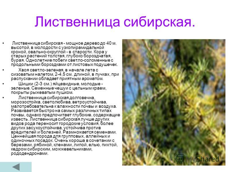 Лиственница сибирская. Лиственница сибирская - мощное дерево до 40 м. высотой, в молодости с узкопирамидальной кроной, овально-округлой - в старости. Кора у старых растений толстая, глубоко бороздчатая, бурая. Однолетние побеги светло-соломенные с пр