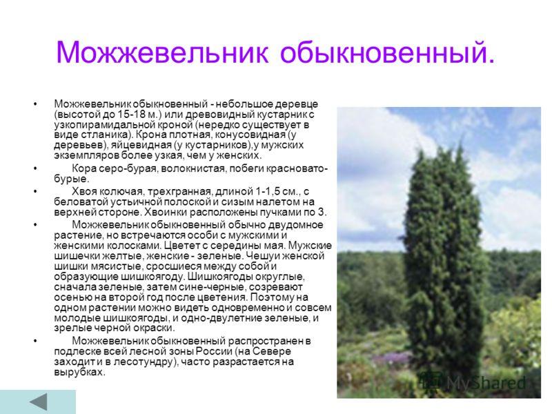 Можжевельник обыкновенный. Можжевельник обыкновенный - небольшое деревце (высотой до 15-18 м.) или древовидный кустарник с узкопирамидальной кроной (нередко существует в виде стланика). Крона плотная, конусовидная (у деревьев), яйцевидная (у кустарни
