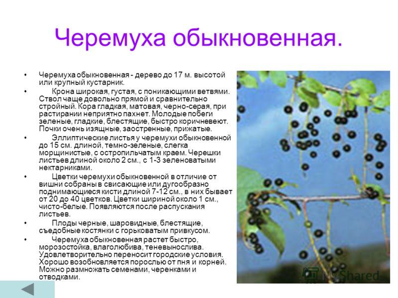 Черемуха обыкновенная. Черемуха обыкновенная - дерево до 17 м. высотой или крупный кустарник. Крона широкая, густая, с поникающими ветвями. Ствол чаще довольно прямой и сравнительно стройный. Кора гладкая, матовая, черно-серая, при растирании неприят