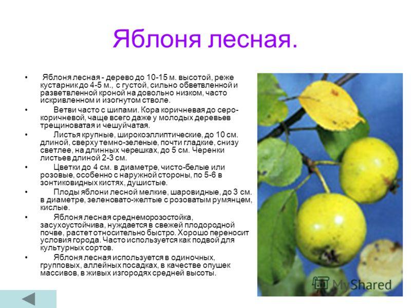 Яблоня лесная. Яблоня лесная - дерево до 10-15 м. высотой, реже кустарник до 4-5 м., с густой, сильно обветвленной и разветвленной кроной на довольно низком, часто искривленном и изогнутом стволе. Ветви часто с шипами. Кора коричневая до серо- коричн
