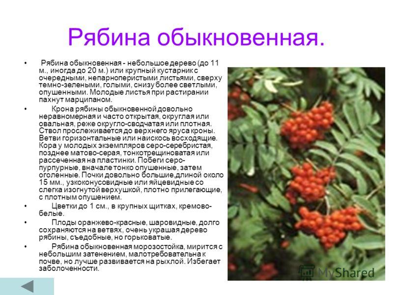 Рябина обыкновенная. Рябина обыкновенная - небольшое дерево (до 11 м., иногда до 20 м.) или крупный кустарник с очередными, непарноперистыми листьями, сверху темно-зелеными, голыми, снизу более светлыми, опушенными. Молодые листья при растирании пахн