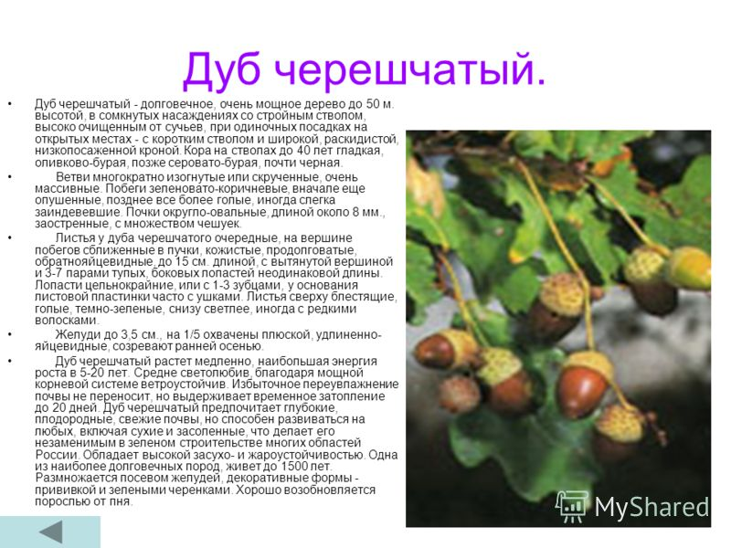 Дуб черешчатый. Дуб черешчатый - долговечное, очень мощное дерево до 50 м. высотой, в сомкнутых насаждениях со стройным стволом, высоко очищенным от сучьев, при одиночных посадках на открытых местах - с коротким стволом и широкой, раскидистой, низкоп