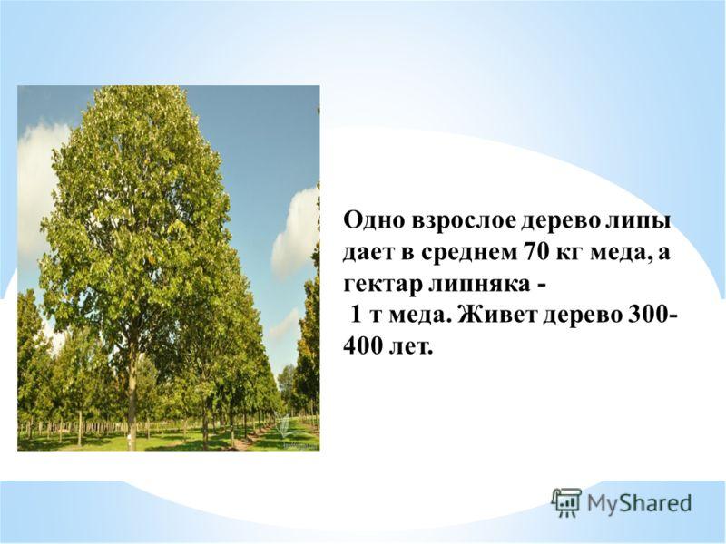 Одно взрослое дерево липы дает в среднем 70 кг меда, а гектар липняка - 1 т меда. Живет дерево 300- 400 лет.