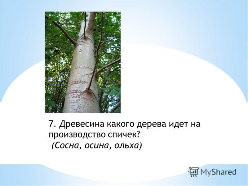 7. Древесина какого дерева идет на производство спичек? (Сосна, осина, ольха)