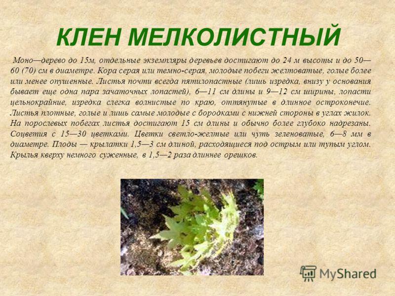 КЛЕН МЕЛКОЛИСТНЫЙ Монодерево до 15м, отдельные экземпляры деревьев достигают до 24 м высоты и до 50 60 (70) см в диаметре. Кора серая или темно-серая, молодые побеги желтоватые, голые более или менее опушенные. Листья почти всегда пятилопастные (лишь
