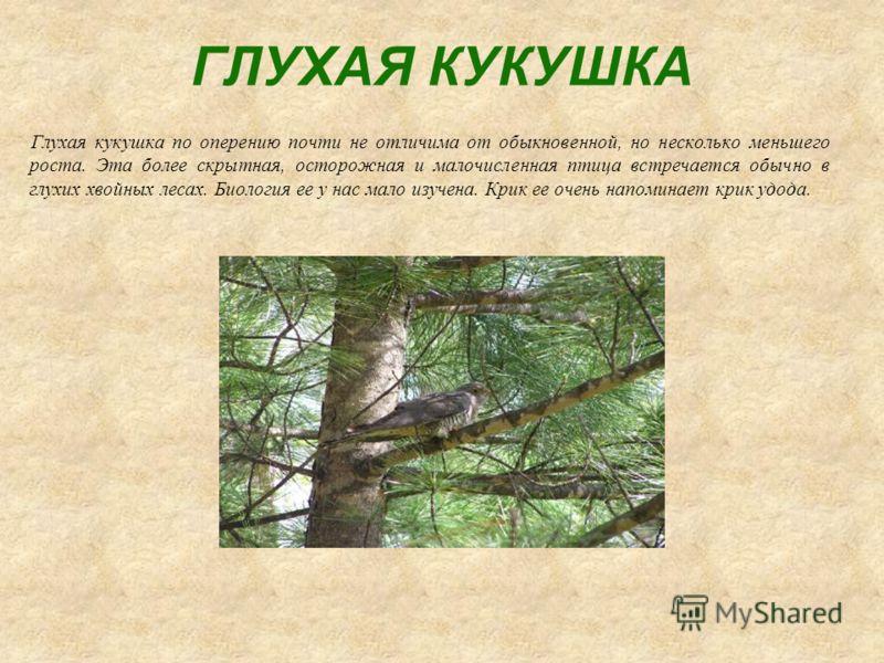 ГЛУХАЯ КУКУШКА Глухая кукушка по оперению почти не отличима от обыкновенной, но несколько меньшего роста. Эта более скрытная, осторожная и малочисленная птица встречается обычно в глухих хвойных лесах. Биология ее у нас мало изучена. Крик ее очень на