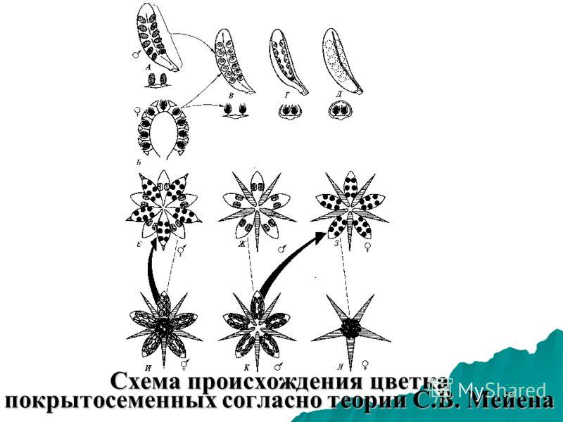 Схема происхождения цветка покрытосеменных согласно теории С.В. Мейена