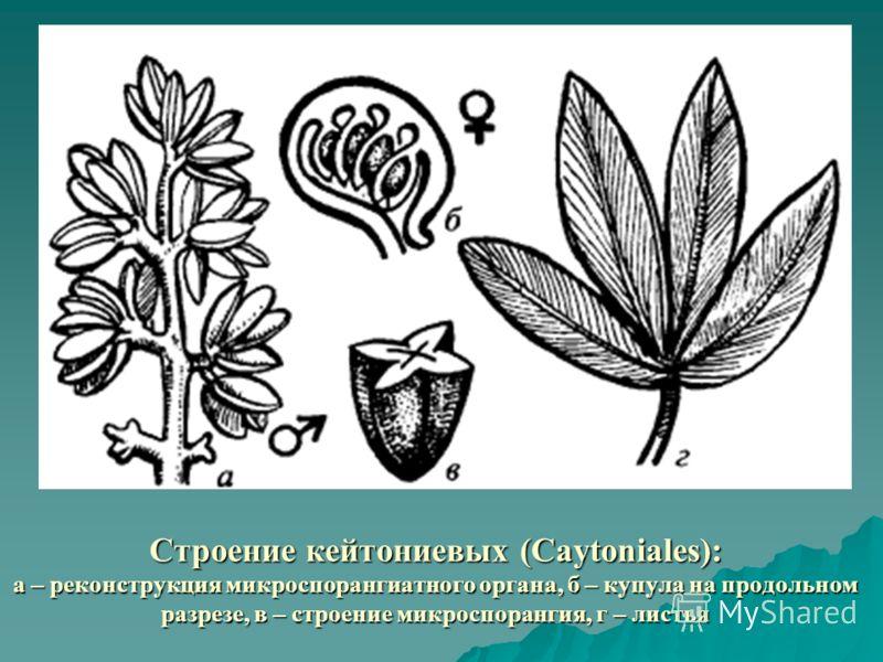 Строение кейтониевых (Caytoniales): а – реконструкция микроспорангиатного органа, б – купула на продольном разрезе, в – строение микроспорангия, г – листья