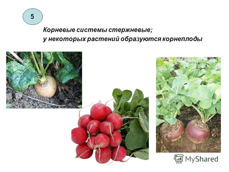 5 Корневые системы стержневые; у некоторых растений образуются корнеплоды