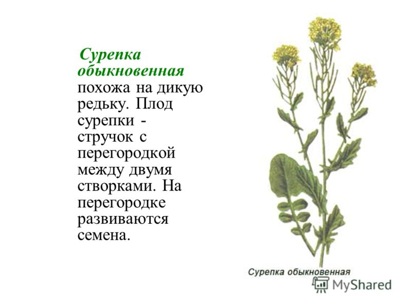 Сурепка обыкновенная похожа на дикую редьку. Плод сурепки - стручок с перегородкой между двумя створками. На перегородке развиваются семена.