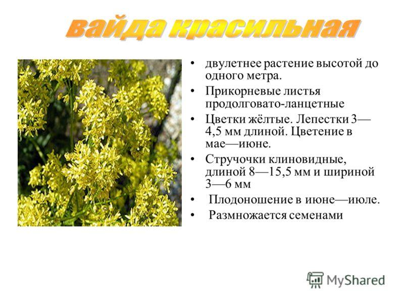 двулетнее растение высотой до одного метра. Прикорневые листья продолговато-ланцетные Цветки жёлтые. Лепестки 3 4,5 мм длиной. Цветение в маеиюне. Стручочки клиновидные, длиной 815,5 мм и шириной 36 мм Плодоношение в июнеиюле. Размножается семенами