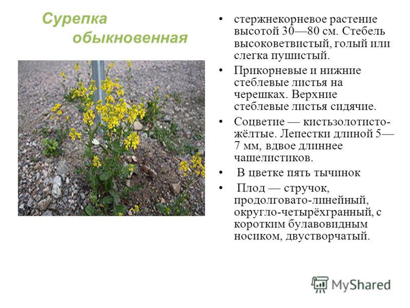 стержнекорневое растение высотой 3080 см. Стебель высоковетвистый, голый или слегка пушистый. Прикорневые и нижние стеблевые листья на черешках. Верхние стеблевые листья сидячие. Соцветие кистьзолотисто- жёлтые. Лепестки длиной 5 7 мм, вдвое длиннее