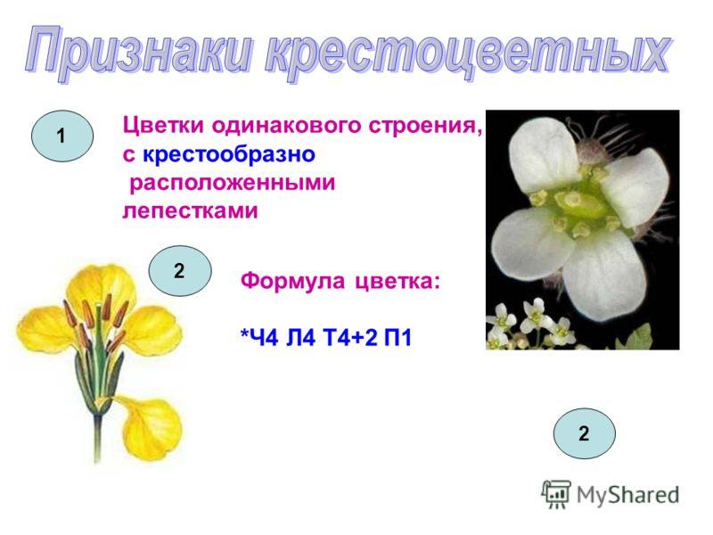 Цветки одинакового строения, с крестообразно расположенными лепестками 1 2 Формула цветка: *Ч4 Л4 Т4+2 П1 2