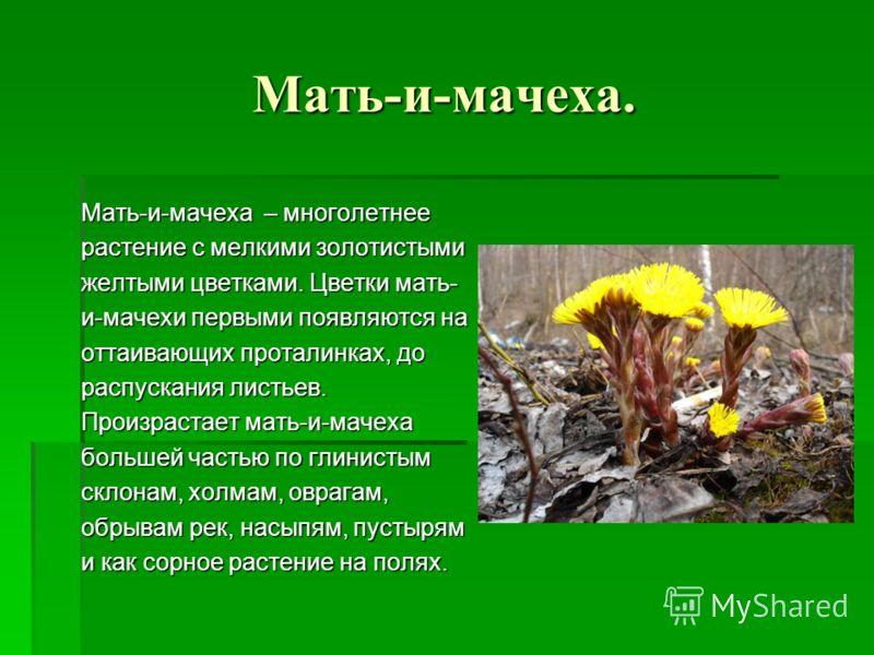 Мать-и-мачеха. Мать-и-мачеха – многолетнее растение с мелкими золотистыми желтыми цветками. Цветки мать- и-мачехи первыми появляются на оттаивающих проталинках, до распускания листьев. Произрастает мать-и-мачеха большей частью по глинистым склонам, х
