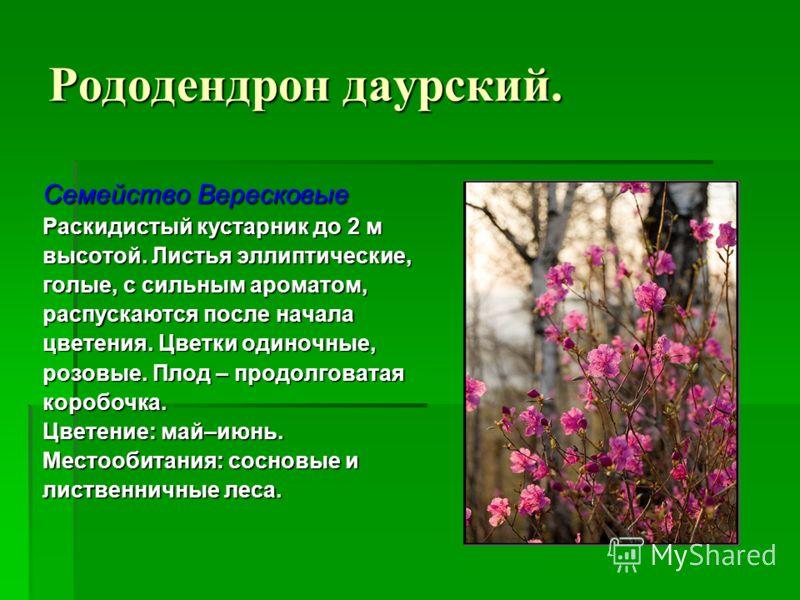 Рододендрон даурский. Семейство Вересковые Раскидистый кустарник до 2 м высотой. Листья эллиптические, голые, с сильным ароматом, распускаются после начала цветения. Цветки одиночные, розовые. Плод – продолговатая коробочка. Цветение: май–июнь. Место