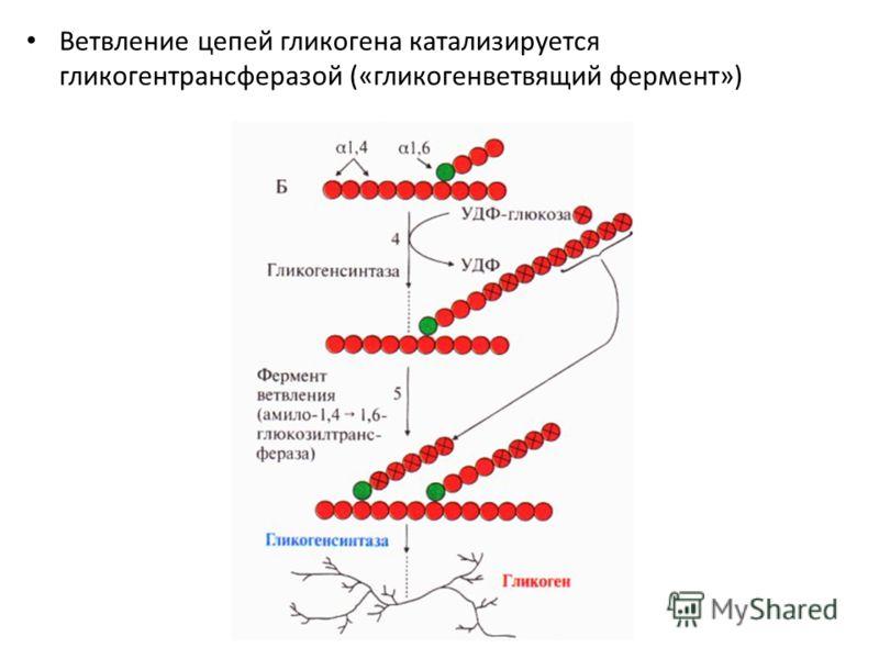 Ветвление цепей гликогена катализируется гликогентрансферазой («гликогенветвящий фермент»)