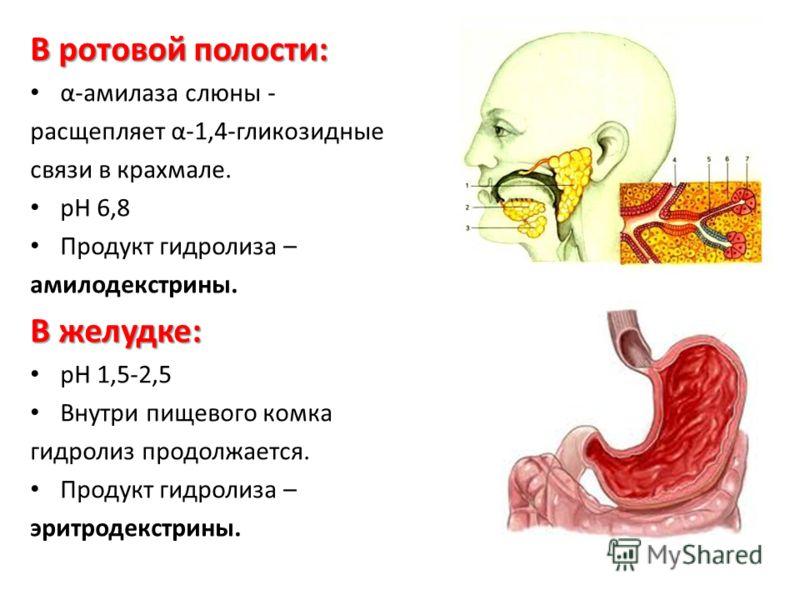 В ротовой полости: α-амилаза слюны - расщепляет α-1,4-гликозидные связи в крахмале. рН 6,8 Продукт гидролиза – амилодекстрины. В желудке: рН 1,5-2,5 Внутри пищевого комка гидролиз продолжается. Продукт гидролиза – эритродекстрины.