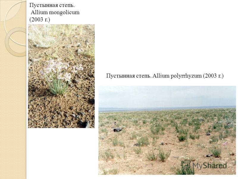Пустынная степь. Allium mongolicum (2003 г.) Пустынная степь. Allium polyrrhyzum (2003 г.)