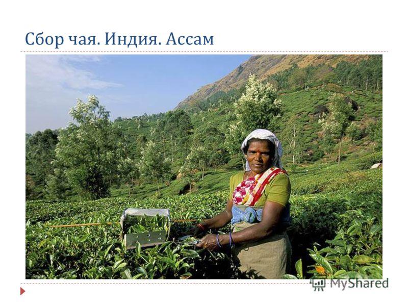 Сбор чая. Индия. Ассам