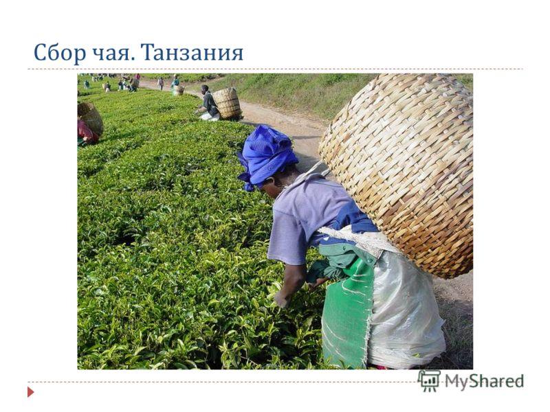 Сбор чая. Танзания