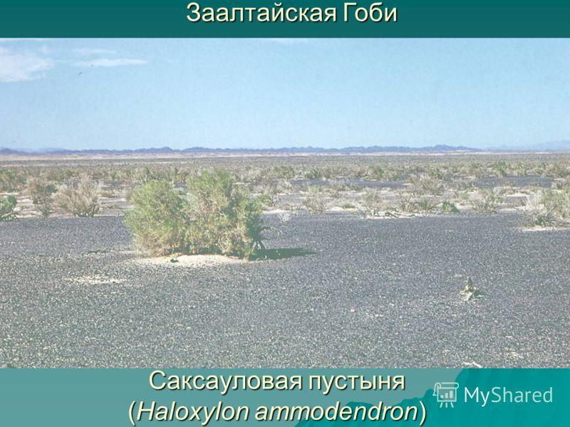 Саксауловая пустыня (Haloxylon ammodendron) Заалтайская Гоби