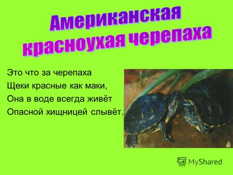 Это что за черепаха Щеки красные как маки, Она в воде всегда живёт Опасной хищницей слывёт.