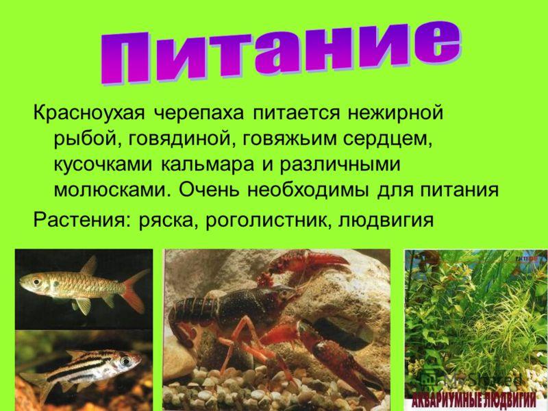 Красноухая черепаха питается нежирной рыбой, говядиной, говяжьим сердцем, кусочками кальмара и различными молюсками. Очень необходимы для питания Растения: ряска, роголистник, людвигия