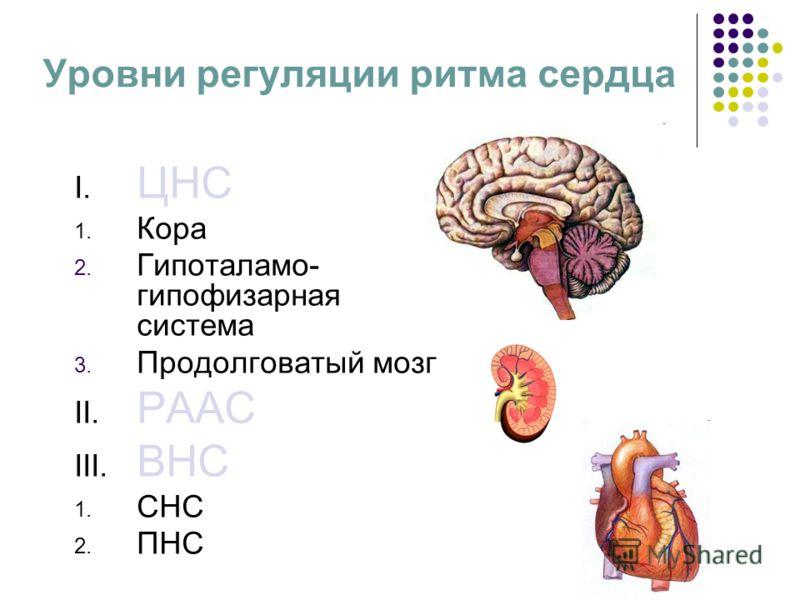 Уровни регуляции ритма сердца I. ЦНС 1. Кора 2. Гипоталамо- гипофизарная система 3. Продолговатый мозг II. РААС III. ВНС 1. СНС 2. ПНС