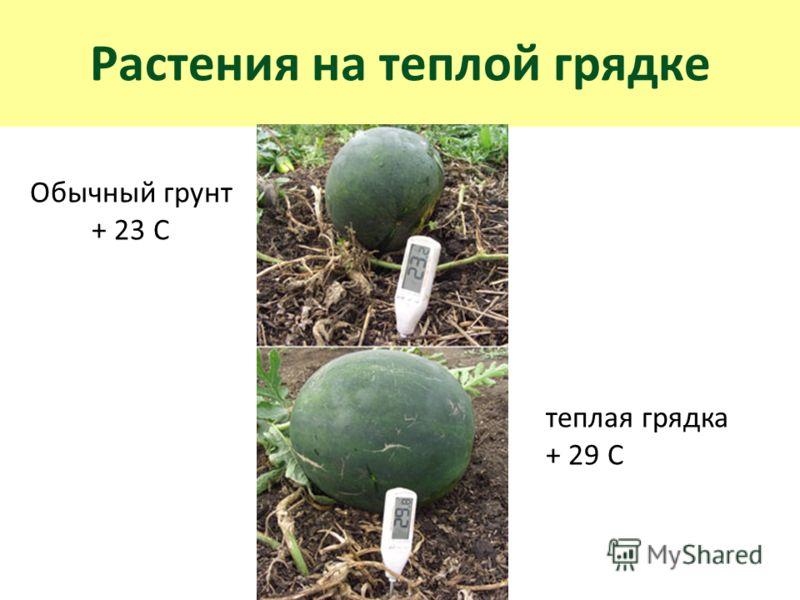 Растения на теплой грядке теплая грядка + 29 С Обычный грунт + 23 С