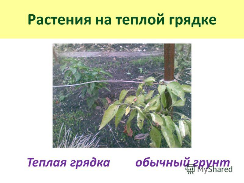 Растения на теплой грядке Теплая грядка обычный грунт