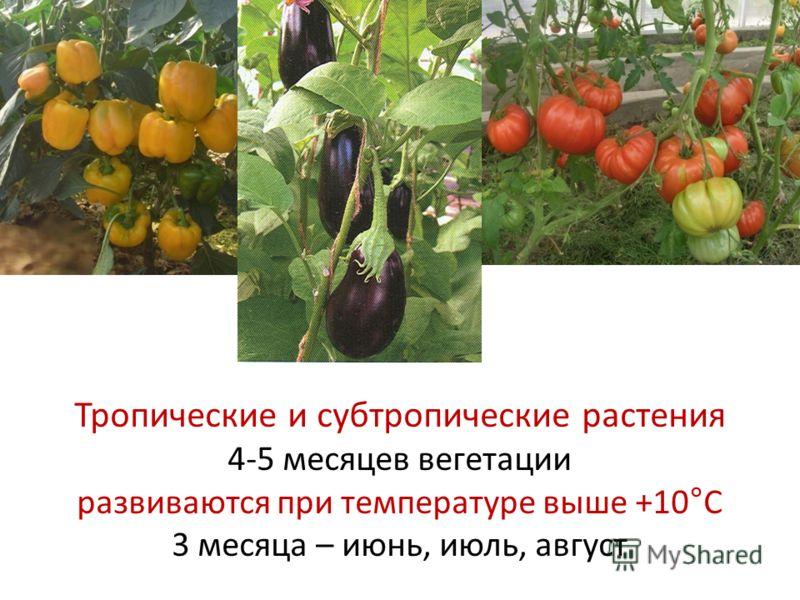 Тропические и субтропические растения 4-5 месяцев вегетации развиваются при температуре выше +10°С 3 месяца – июнь, июль, август