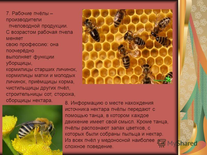 7. Рабочие пчёлы – производители пчеловодной продукции. С возрастом рабочая пчела меняет свою профессию: она поочерёдно выполняет функции уборщицы, кормилицы старших личинок, кормилицы матки и молодых личинок, приёмщицы корма, чистильщицы других пчёл