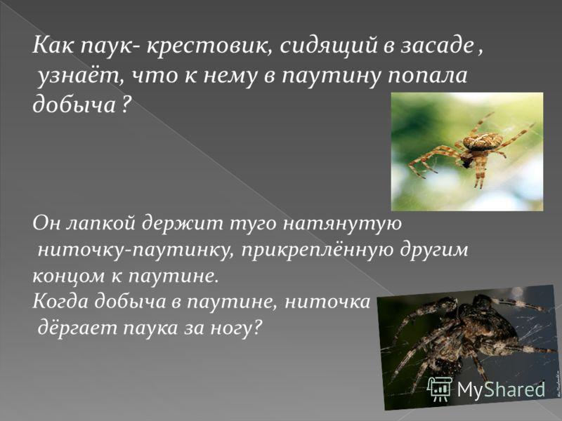 Как паук- крестовик, сидящий в засаде, узнаёт, что к нему в паутину попала добыча ? Он лапкой держит туго натянутую ниточку-паутинку, прикреплённую другим концом к паутине. Когда добыча в паутине, ниточка дёргает паука за ногу?