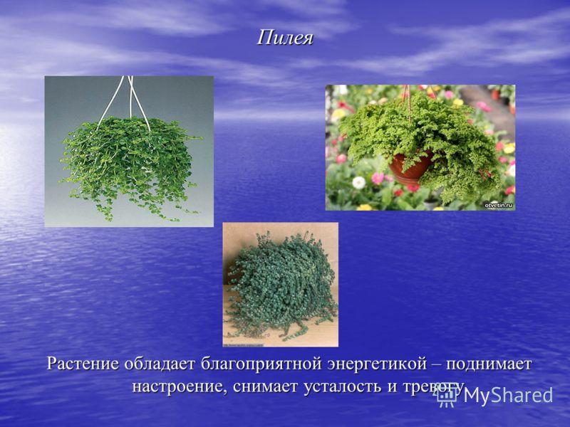 Пилея Растение обладает благоприятной энергетикой – поднимает настроение, снимает усталость и тревогу.